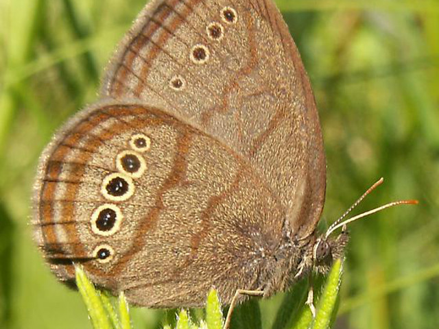 Mitchell's Satyr (Neonympha mitchellii) photographed in Van Buren County, Michigan • Photo by Nate and Erin Fuller • Source: Wikimedia Commons • https://commons.wikimedia.org