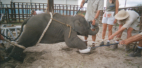In the Ringling Bros. and other circuses, baby elephants are separated from their mothers in order to break their spirits; they are subsequently tied with ropes, and prodded with bullhooks and electro-shock devices to make them obey.