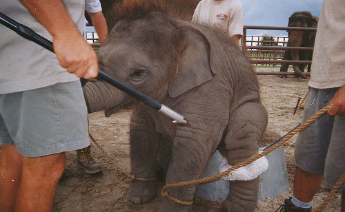 "If this sort of animal abuse wasn't institutionalized by the circus industry—or if these cowards were caught doing this to a dog, or a human infant—they would be locked up in prison, not ""gainfully employed"" by an entertainment enterprise."